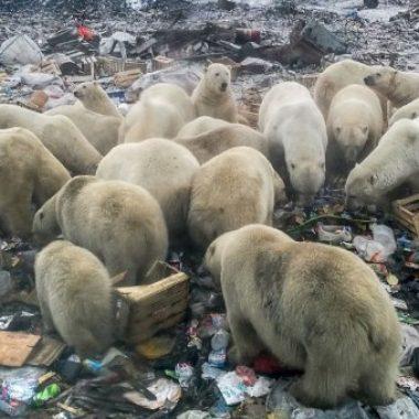 Оросын тосгон руу 50 гаруй цагаан баавгай орж иржээ