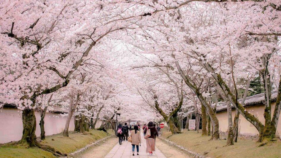 Киото хотын интоорын мод